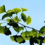 Ein Blick auf Ginkgo biloba